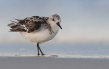 Sanderling At The Water's Edge