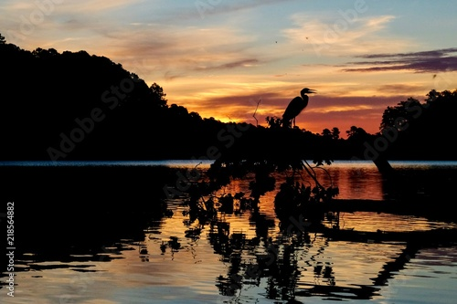 Αφίσα  Silhouette of a great blue heron perched on a fallen tree in the water backlit b