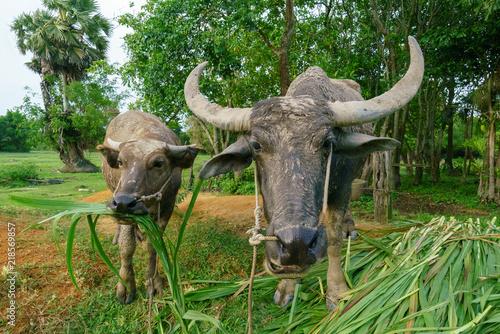 Keuken foto achterwand Buffel Wildlife Buffalo muddy body eatting grass.
