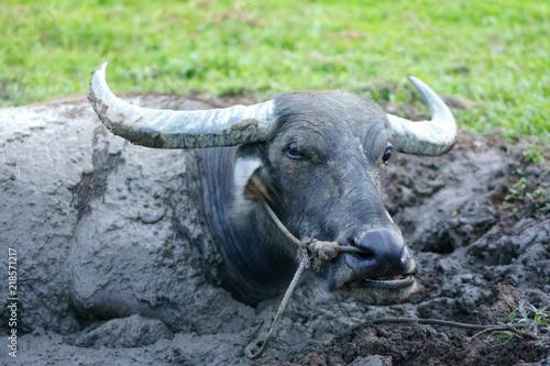 Staande foto Buffel Wildlife Buffalo muddy body