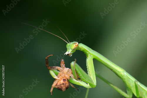 Photo mantis perched on the leaves