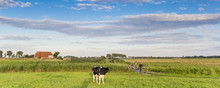 Panorama Of A Cow And People On A Bicycle Path In Groningen, Netherlands