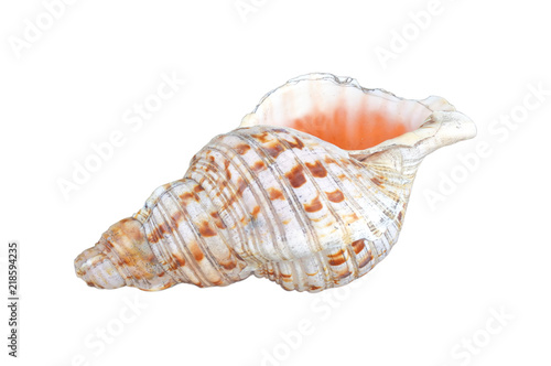 Polynesian Conch Shell Horn isolated on white background