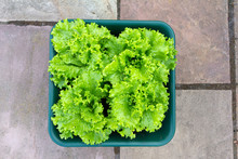 Vibrant Curly Lettuce Plants Growing In A Pot