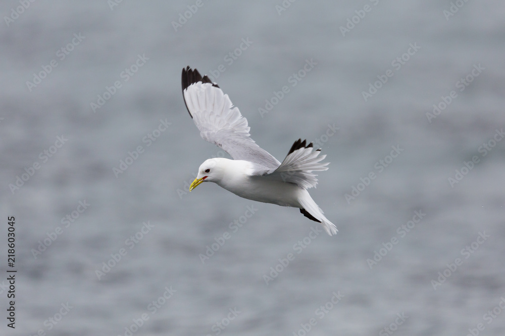 portrait flying black-legged kittiwake (rissa tridactyla), open wings
