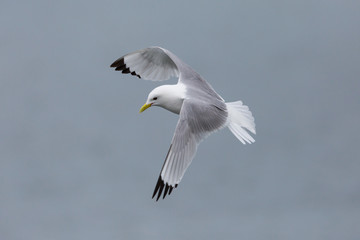 black-legged kittiwake (rissa tridactyla) in flight