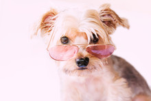 Cute Little Dog Wearing Pink Aviator Style Sunglasses Over A Pinkish Background