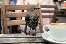 Young Starling On A Wooden Tab...