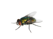 Common Green Bottle Fly Lucili...
