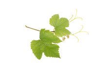 Vine Grapes Isolated On White Background