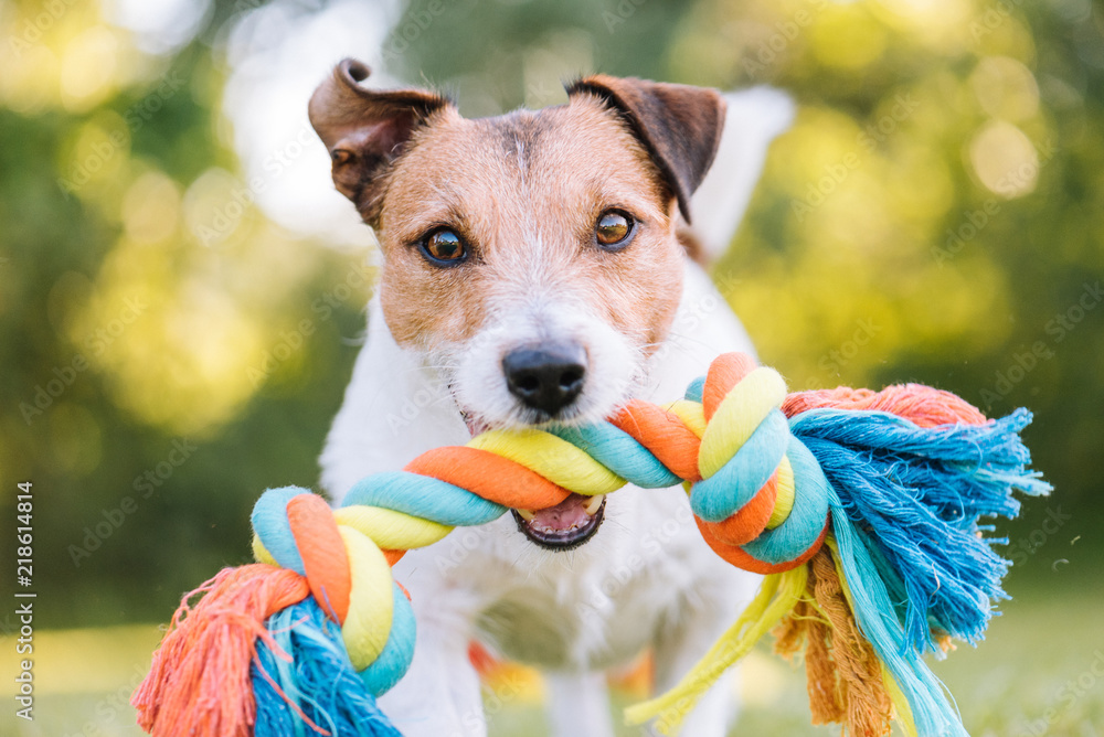 Fototapeta Close up portrait of dog playing fetch with colorful toy rope - obraz na płótnie