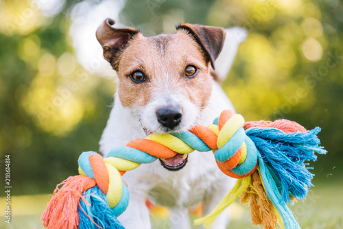 Fototapeta Close up portrait of dog playing fetch with colorful toy rope obraz na płótnie