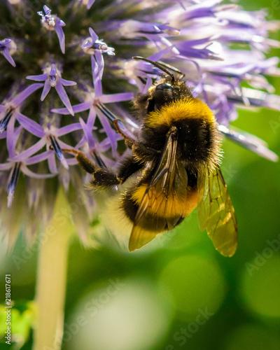 Canvas Print Bumblebee at violet dahlia flower