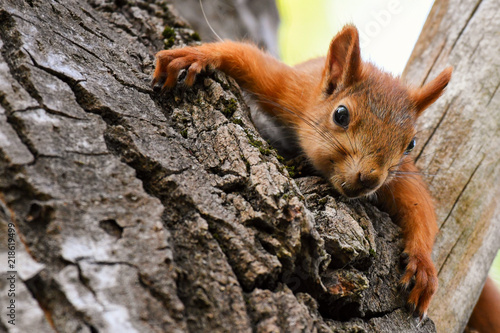 Spoed Foto op Canvas Eekhoorn Young red Squirrel resting lying on a tree