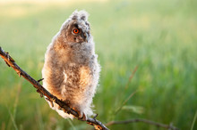 Young Long-eared Owl (Asio Otus) Sitting On A Stick