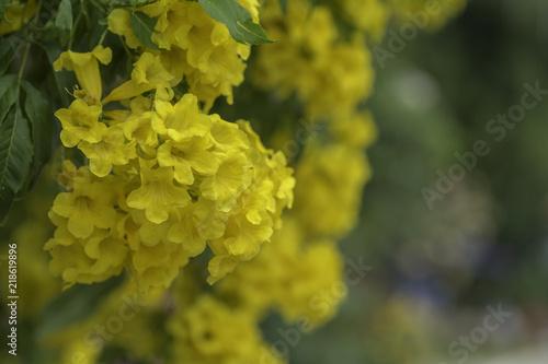 Photo sur Aluminium Vignoble Yellow trumpet flower on a background blur