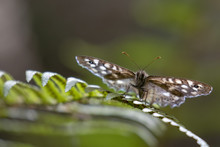 Speckled Wood Butterfly, Pararge Aegeria, Perched On A Fern And Birch Leaf In Woodland, August, Scotland.