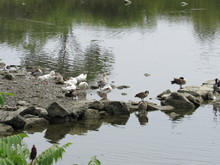 A Group Of Geese And Cormorant Birds Standing At The Shoreline