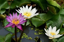 Purple And White Lotus In Water
