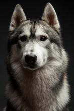 Huskey Dog Portrait In Studio