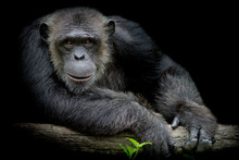 Cute Chimpanzee Smile And Catc...