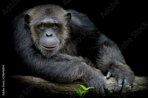 Leinwand Poster Cute Chimpanzee smile and catch big branch and look straight to front of him on