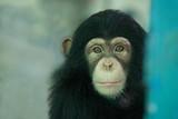 Chimpanzee funny. - 218647295