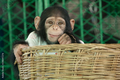 Photo Chimpanzee  cute.