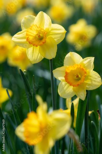 Foto op Plexiglas Narcis 満開のスイセンの花