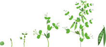 Life Cycle Of Pea Plant. Stages Of Pea Growth From Seed And Sprout To Adult Plant With Fruits