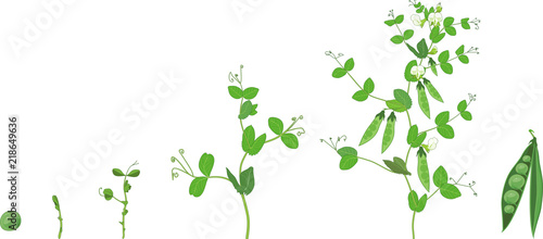 Life cycle of pea plant Wallpaper Mural