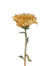 Chrysanthemum Illustration On ...