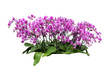 orchids isolated with clipping path
