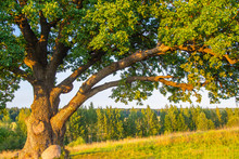 An Old Oak. A Big Tree. The Tree Is More Than 100 Years Old. Green Oak. A Huge Tree Against A Green Meadow.