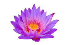 Lotus Purple Isolate Lotus Beautifully Bloomed In Yellow Pollen