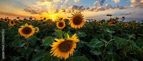 Poster Village Summer landscape: beauty sunset over sunflowers field. Panoramic views
