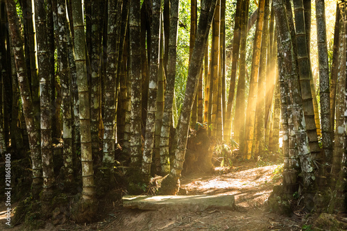 Sunlit path through a giant bamboo forest