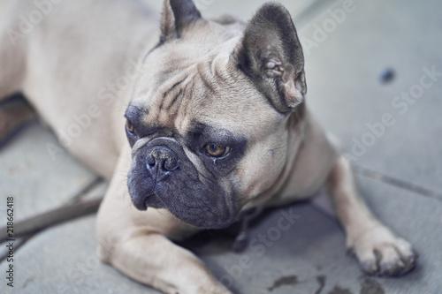 Fotografie, Obraz  Adorable French Bulldog face