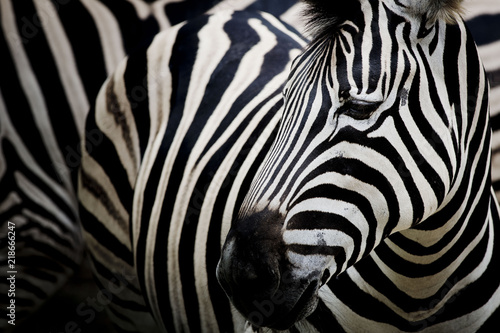 Poster Zebra Zebra on dark background. Black and white image