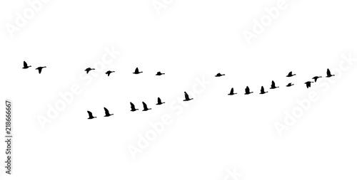 Cuadros en Lienzo Greater white-fronted goose wedge in flight