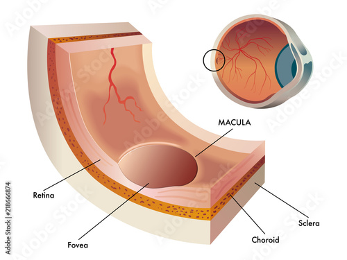 Fotografía  Medical vector illustration of a small section of the central region of the reti