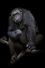 Gorilla Close Up Portrait Isol...