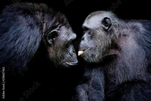Western lowland gorilla, two mammals tease together. One gorilla sharing banana to friend on black background