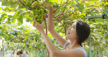 Woman Picking Green Grape