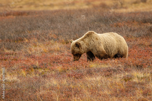 Photo Grizzly bear in Alaskan tundra in Denali national park
