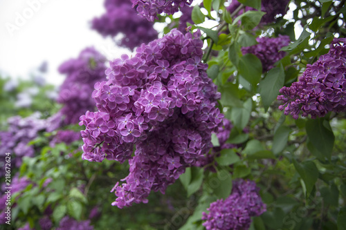 Tuinposter Lilac Violet lilac lush bunches in the garden. Beautiful bunch of flowers and leaves.
