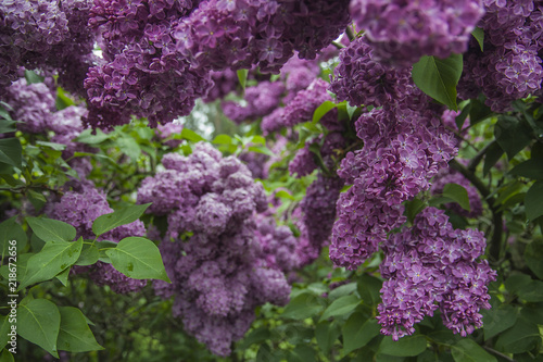 Foto op Canvas Lilac Violet lilac lush bunches in the garden. Beautiful bunch of flowers and leaves.