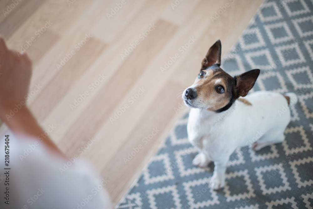 Fototapety, obrazy: Cute alert little dog watching its owner