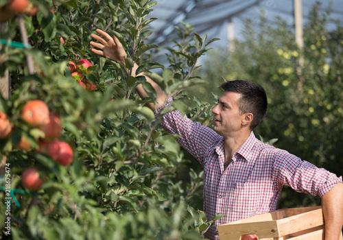 Fotografie, Obraz  Farmer harvesting apples in orchard