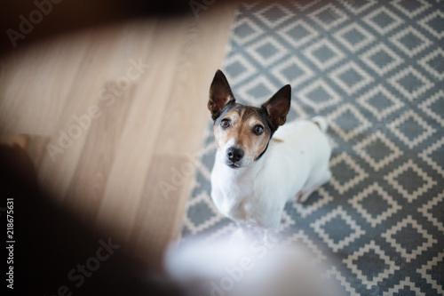 Fototapeta Adorable little dog staring alertly at its owner obraz na płótnie